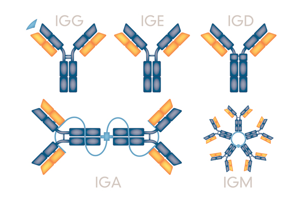 Antibody Humanization through Antibody Engineering